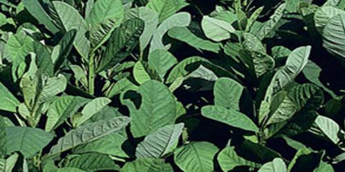 Crotalaria Spectabilis cv. Comum