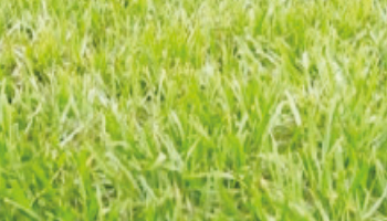 Paspalum Saurae cv. Pensacola