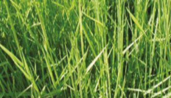 Brachiaria Humidicola cv. B Humidicola